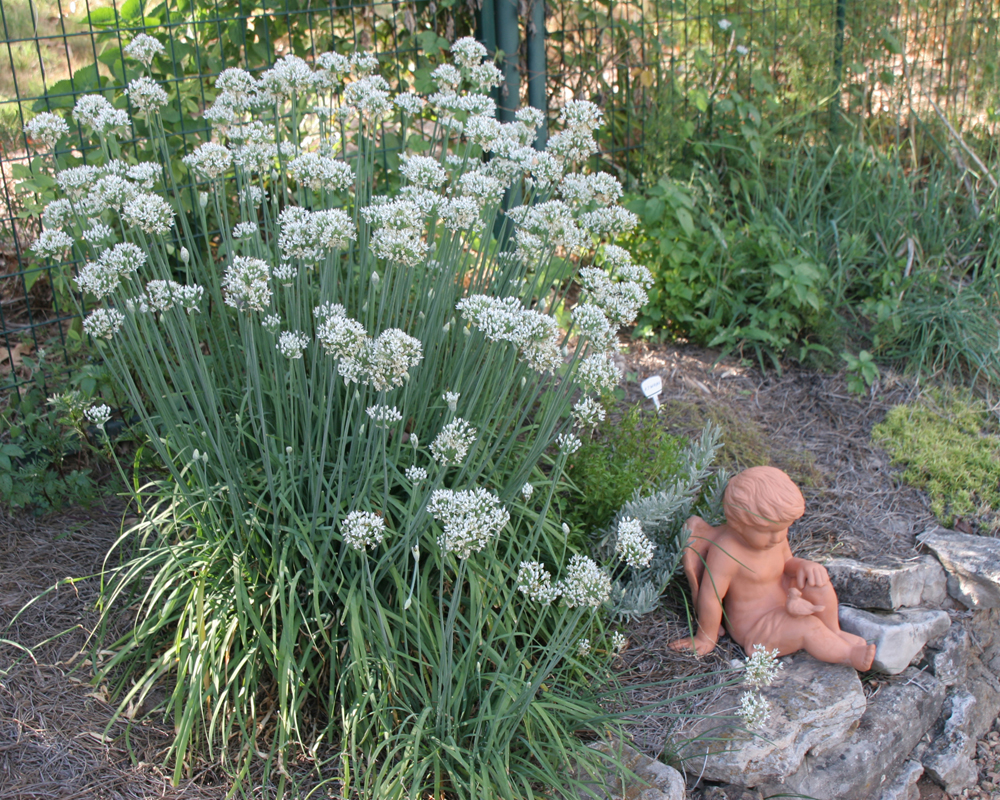 Chives_in_blossom