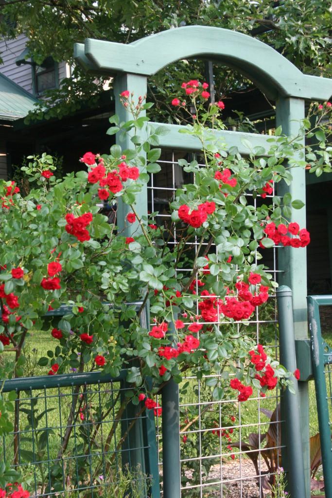 Roses_on_Trellis